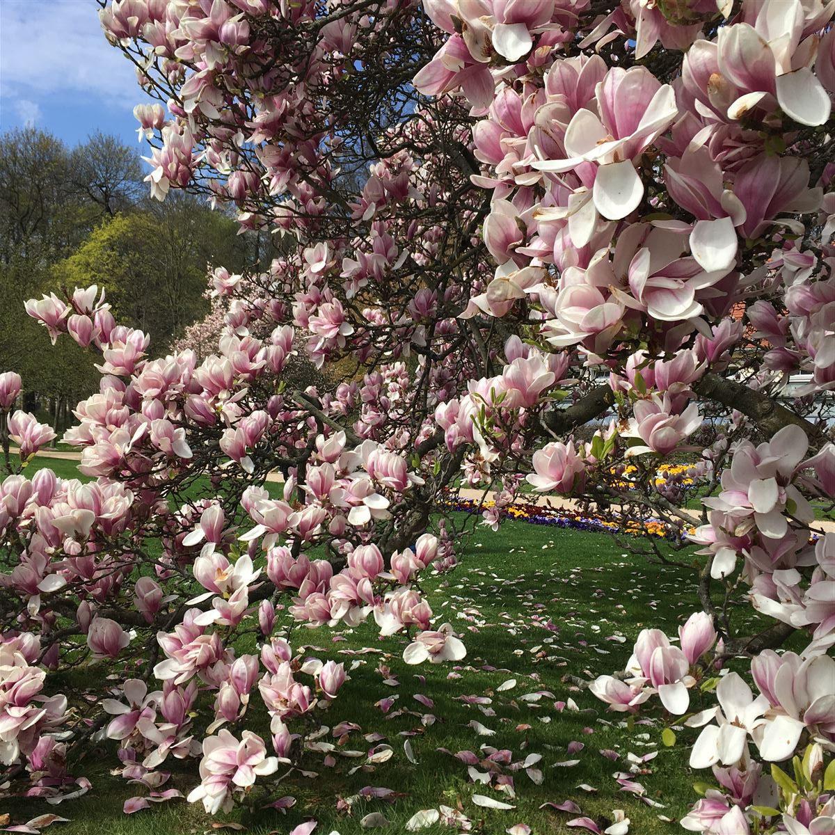 Vogtland im Frühling - Magnolie in Greiz