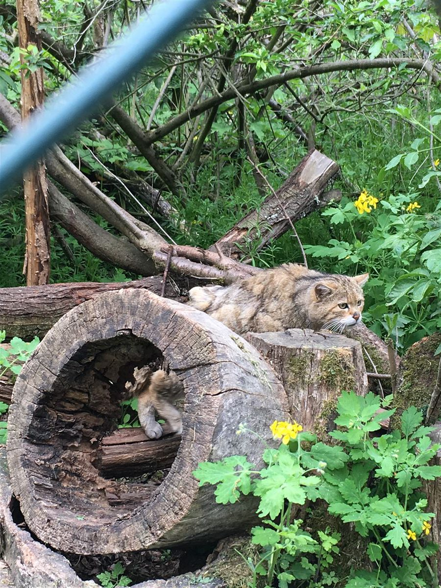Fütterung Wildkatze  / Erlebnispfad Pfaffengut in Plauen in Sachsen